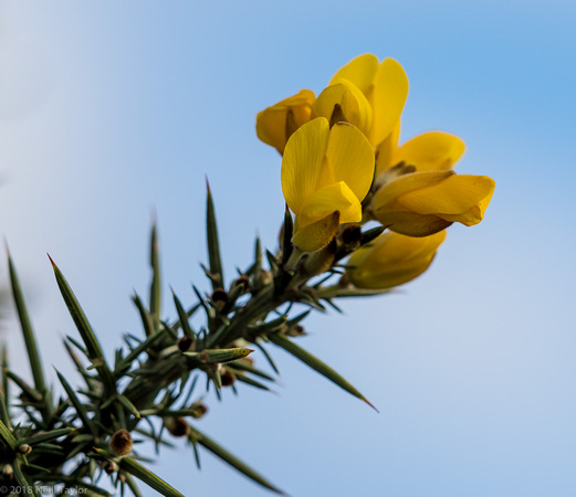 New Forest gorse bloom